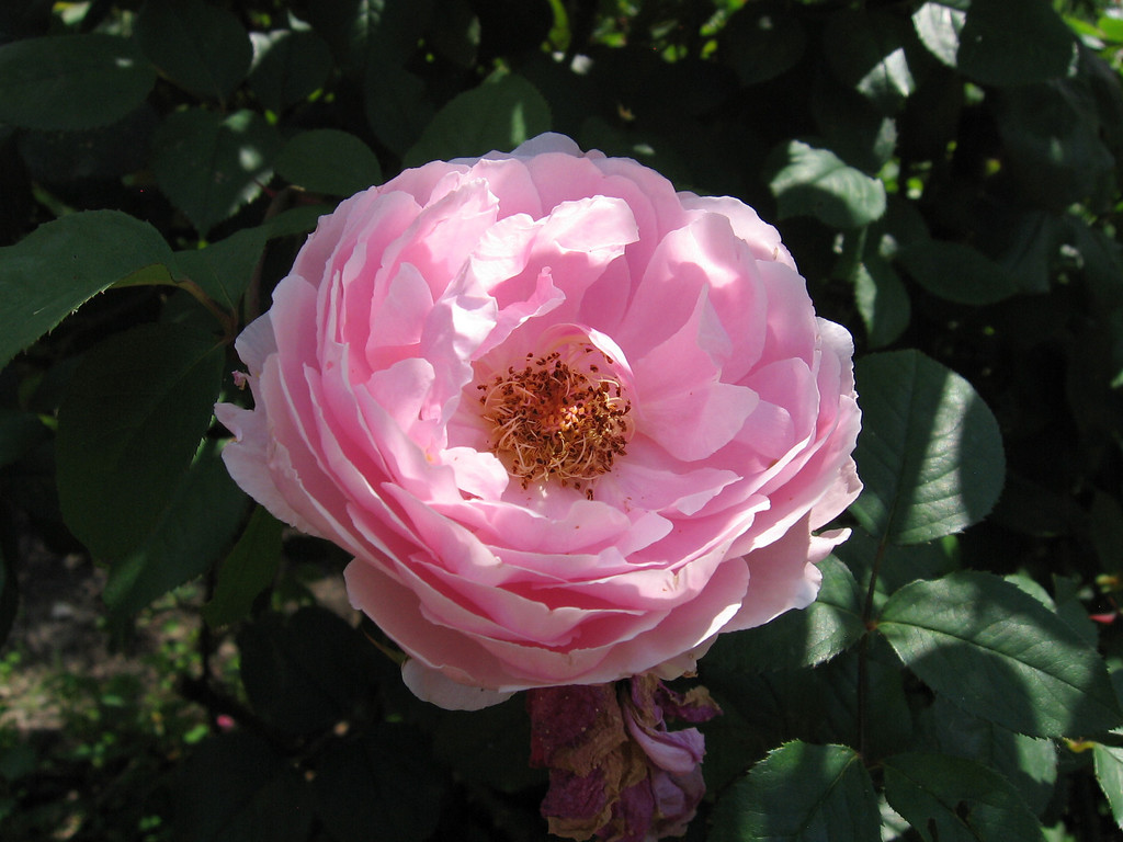 The Reeve English Rose - Rosa
