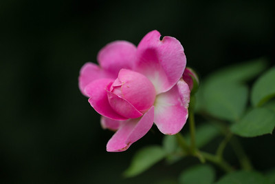 Rose - Mary Rose Rose - Mary Rose