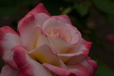 Rose - Secret Rose - Secret
