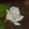Rose - Strike it Rich<br /> Rose - Strike it Rich