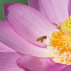 A honey bee, loaded with pollen, prepares to leave a lotus planat at Kenilworth Park and Aquatic Gardens, Washington, DC.