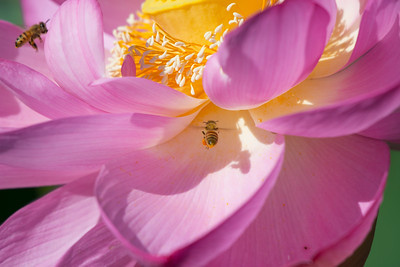 One honey bee, fully loaded with pollen, leaves a lotus planat as another bee arrives to collect pollen of its own. Kenilworth Park and Aquatic Gardens, Washington, DC.