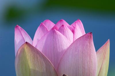 Lotus points