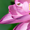 Two bees at a lotus flower