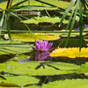 at Kenilworth Park and Aquatic Gardens in Washington, DC.