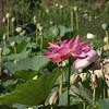 Lotus, August 17, 2008, Kenilworth Aquatic Gardens, Washington, DC.