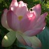 Lotus, with bee, August 17, 2008, Kenilworth Aquatic Gardens, Washington, DC.