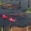 Water lilies, August 17, 2008, Kenilworth Aquatic Gardens, Washington, DC.