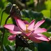 Lotus blossom, end of the line, Kenilworth Aquatic Gardens, Washington, DC.