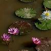 Water lilies,  Kenilworth Aquatic Gardens, Washington, DC.