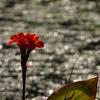 Canae lilly,  Kenilworth Aquatic Gardens, Washington, DC.