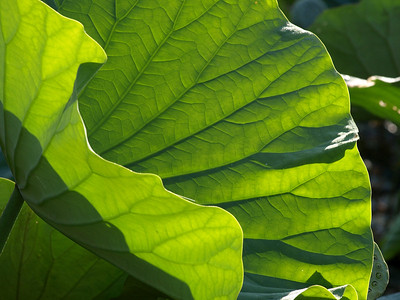 Lotus leaf, Kenilworth Aquatic Gardens, Washington, DC.