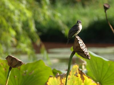 Wren on lotus pod,  Kenilworth Aquatic Gardens, Washington, DC.