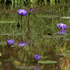 Violet lilies,  Kenilworth Aquatic Gardens, Washington, DC.