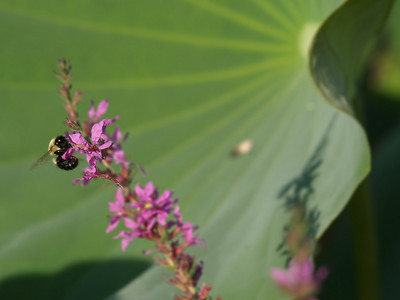 Bumblebee, with lotus leaf in background,  Kenilworth Aquatic Gardens, Washington, DC.