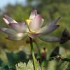 Lotus blossom, near the end, Kenilworth Aquatic Gardens, Washington, DC.