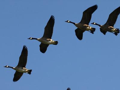 Canada geese,  Kenilworth Aquatic Gardens, Washington, DC.
