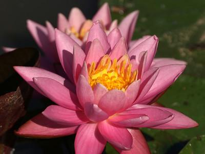 Pink lily,  Kenilworth Aquatic Gardens, Washington, DC.