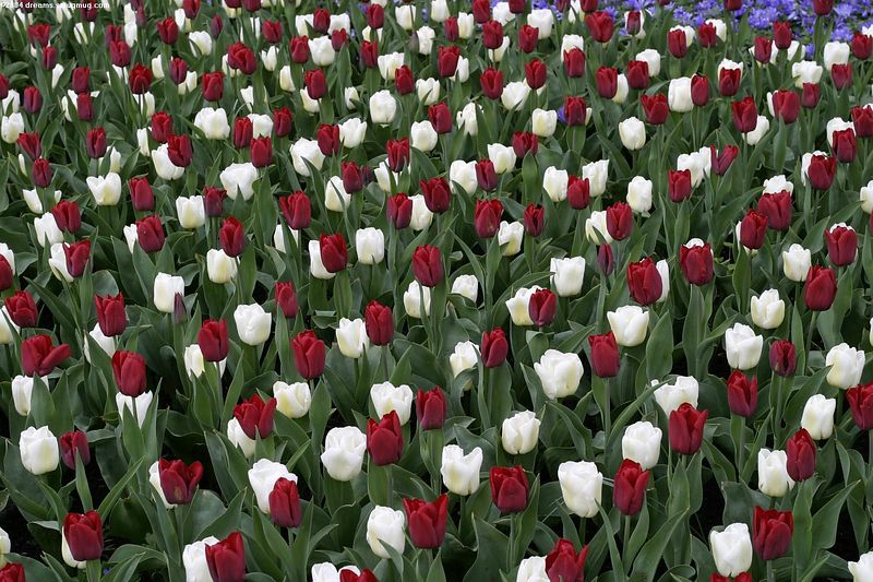 Chess board of tulips