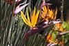 Kirstenbosch - strlitzia's