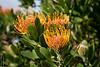 Oudshoorn Pincushion protea (Leucospermum erubescens)