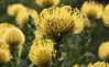 Kirstenbosch - proteas
