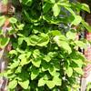 Akebia quinata in blad