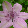 Clematis 'Hagley Hybrid' close-up