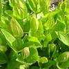 Clematis integrifolia blad