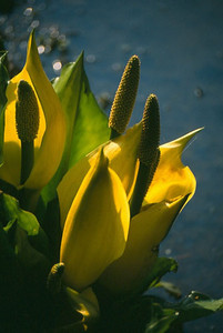 Lysichiton americanum close-up