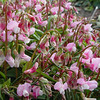 Lathyrus vernus 'Rosenelfe'