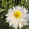 Leucanthemum 'Sunny Side Up'