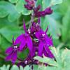Lobelia 'Hadspen Purple'