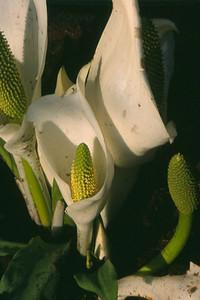 Lysichiton camtschatsensis