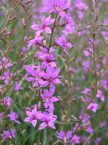 Lythrum 'Lady Sackville'