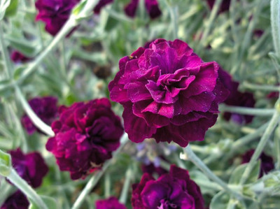 Lychnis 'Gardners' World'