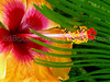 Hawaii-Hibiscus-1