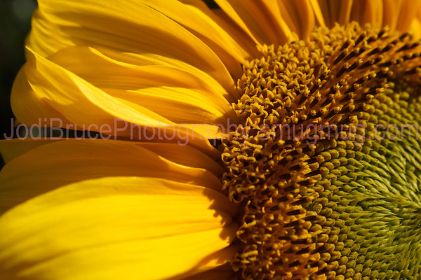 Oregon-Sunflower-2