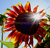 Oregon-Sunflower-1