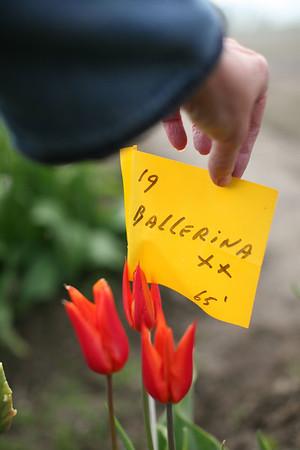 LaConner Tulip Fields 2012