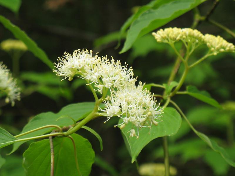 Alternate Leaf Dogwood (Bush Dogwood)