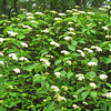 Alternate Leaf Dogwood (Bush Dogwood)