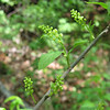 Oilnut