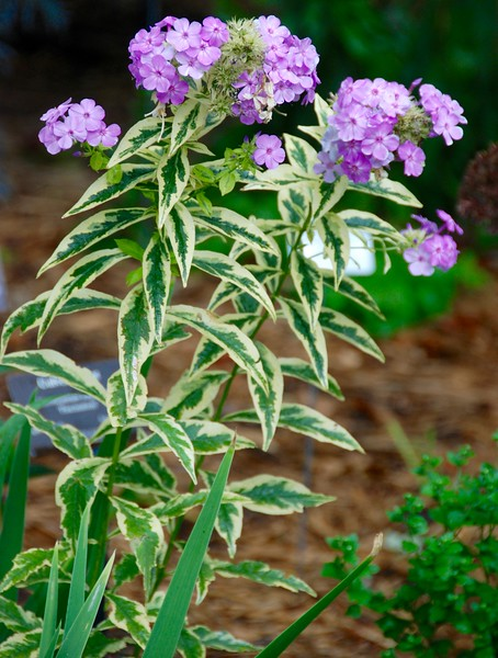 I love these phlox!