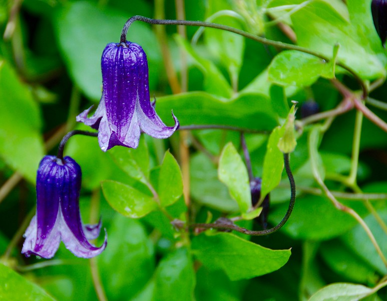 This is a clematis.