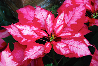 Lauritsen Gardens poinsettias 12/30/13