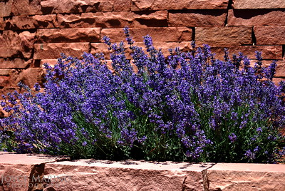 Lavendar and red brick wall -- DSC_0500