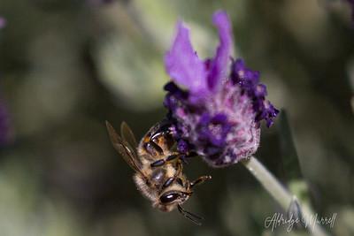 Bumblebee/Honeybee