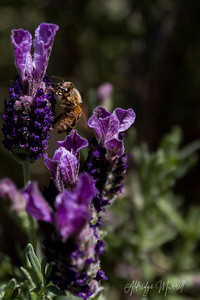 Honeybee and Lavender flower