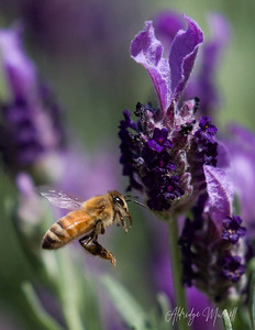 English lavender and Honeybee